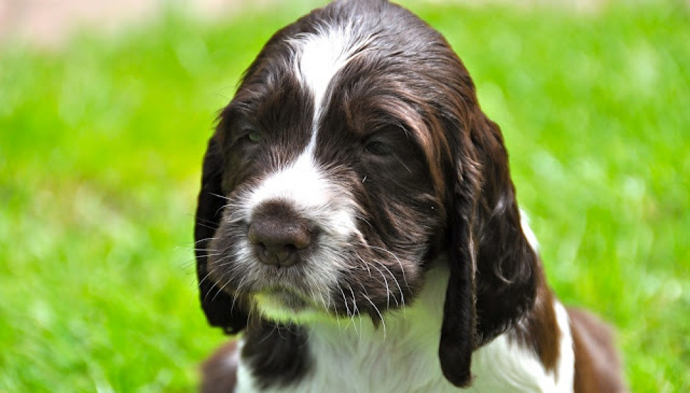 Training Spaniel Puppies For And Training Spaniels